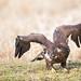 Bald Eagle after meal
