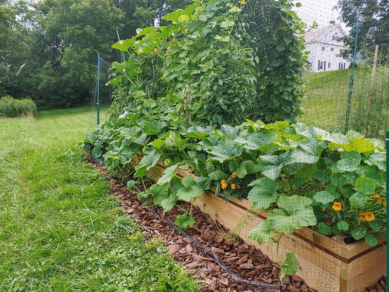 Squash Overtaking the Vegetable Garden