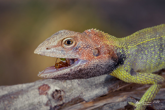 Black-throated Two-pore Dragon eating a Green Ant
