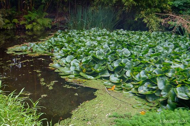 Spatterdock/Pond Lily (Nuphar advena)