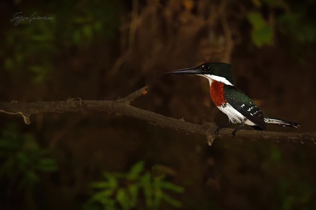 Guarda-rios-pequeno / Green kingfisher / (Chloroceryle americana)