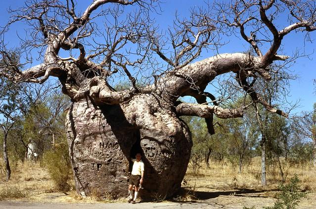 1966 BOAB PRISION TREE, NR DERBY