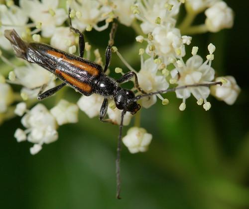 insect beetle coleoptera cerambycidae lepturinae flowerlonghorn tennessee canonef100mmf28macrousm inaturalist strangalepta strangaleptaabbreviata