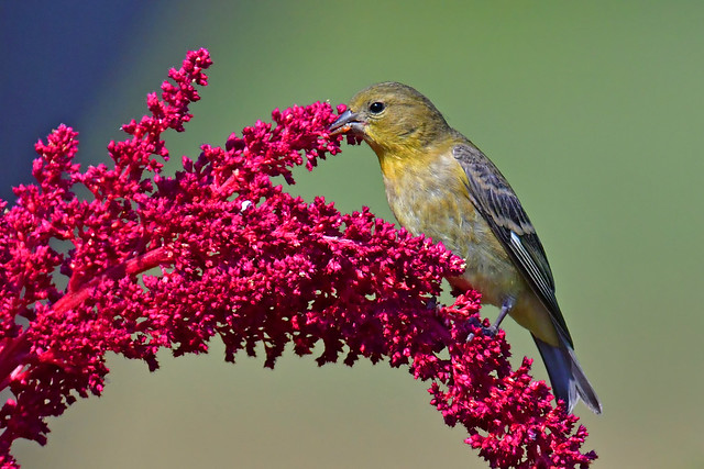 Lesser Goldfinch female 2DSC_1334