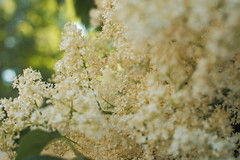 Primrose lilacs