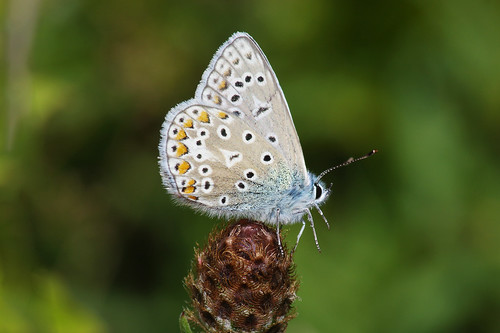 cambridgeshire devilsdyke polyommatusicarus butterfly commonblue insect nature wild wilflife