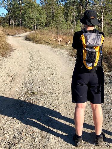 australia mtjoyce qld queensland wyaralongdam bushwalk bushwalking dirtroad kangaroos seqld bushwalkers track road unsealed easterngreykangaroos