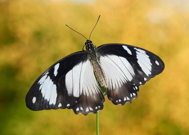 Papilio dardanus (African Swallowtail)