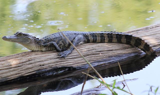 American alligator (Alligator mississippiensis) explored