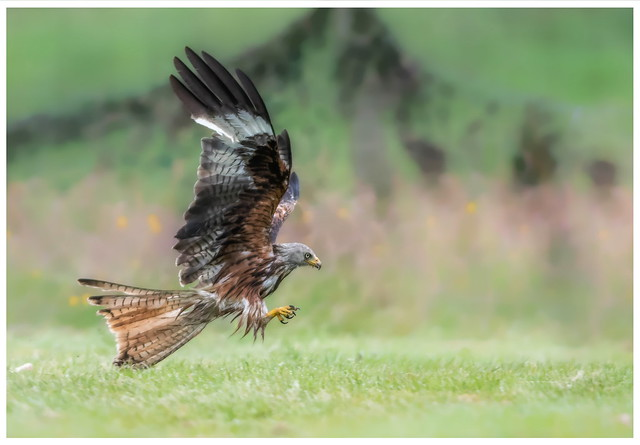 Welsh Red Kite