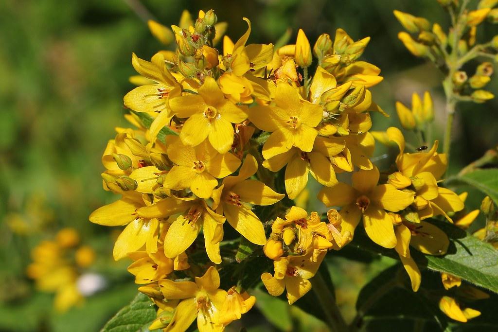 Yellow Loosestrife - Lysimachia vulgaris- Middlebere Dorset- 300720 (3)
