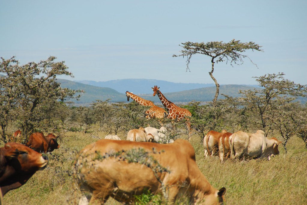 photo of boran cattle and giraffe