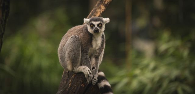 Larry the Ring-tailed Lemur.