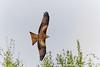 Rotmilan Jungvogel