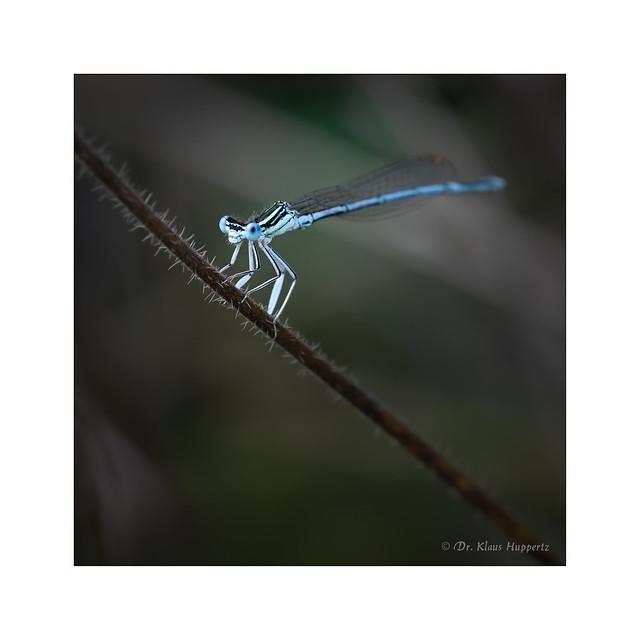white-legged damselfly