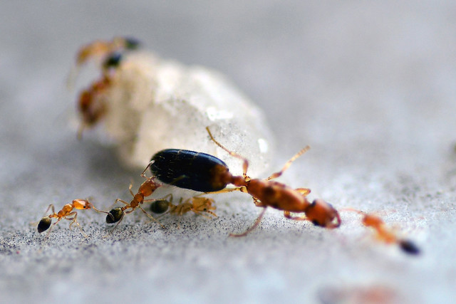 16 frames to share you a little story of red ants-  Frame 16/16: And finally the group of workers escorted their queen to a distant hiding place. With their disappearance the rest of the colony vanished in moments. The drama ended finally.