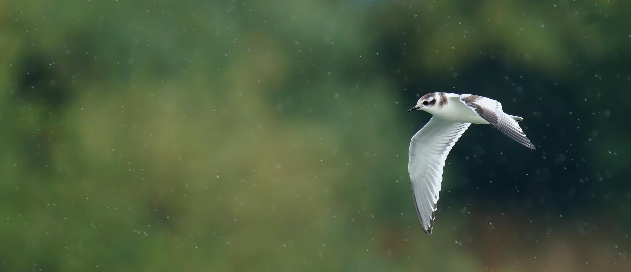 Little Gull study [ 3 juveniles ]