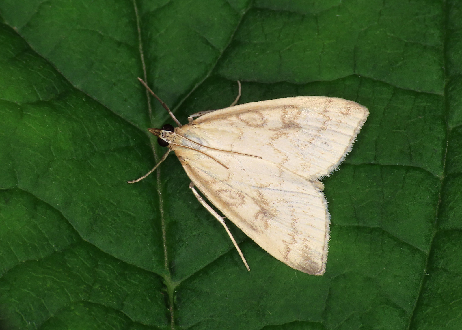 63.033 Pale Straw Pearl - Udea lutealis
