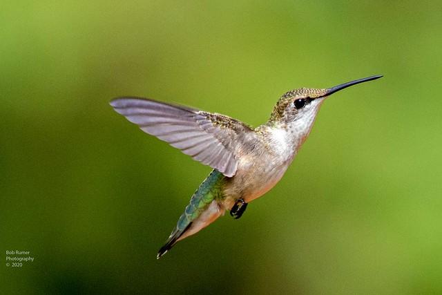 Hummingbird Female.