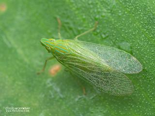 False lanternfly (Dictyopharidae) - P8162645