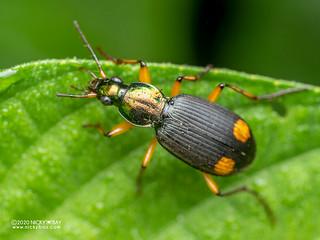 Ground beetle (Chlaenius rufifemoratus) - P8152623