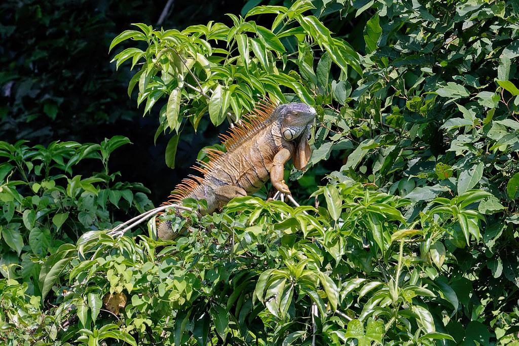 Зеленая игуана, Iguana iguana, Green iguana