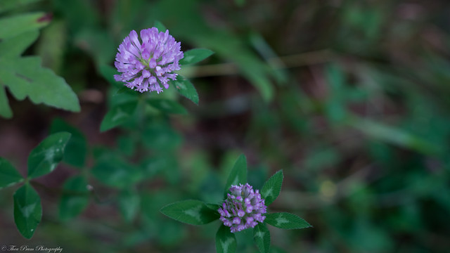 If I'm supposed to be a red clover, why was I colored purple?