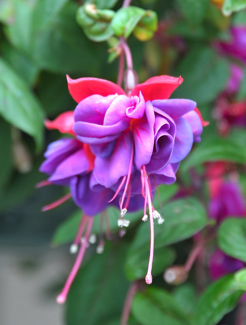 Summertime flowers - Portland Oregon