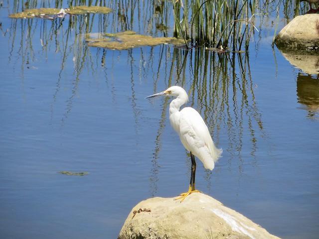 egret takes a sunbath