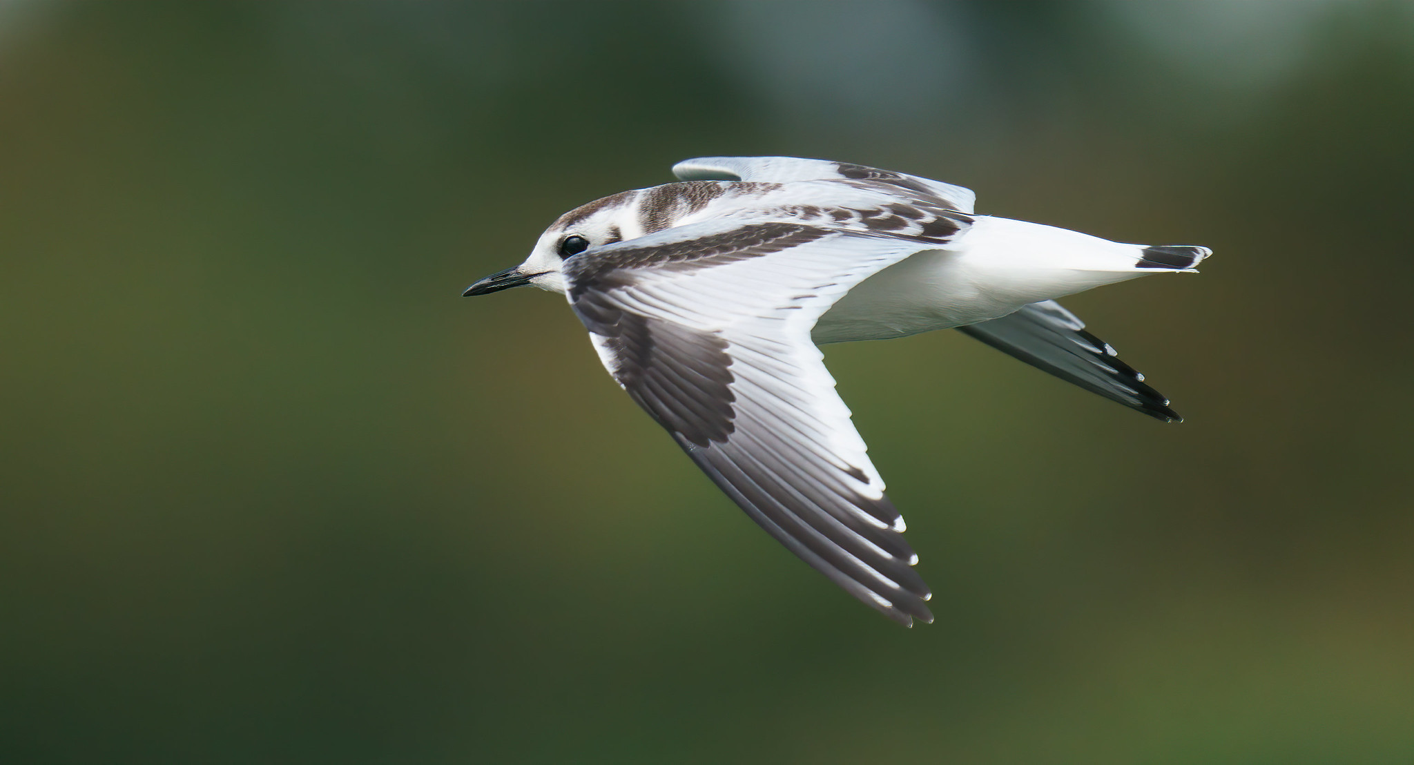 Little Gull study [ 3 juveniles ]