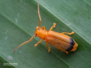 Longhorn beetle (Bacchisa sp.) - P8162668