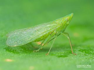 False lanternfly (Dictyopharidae) - P8162646