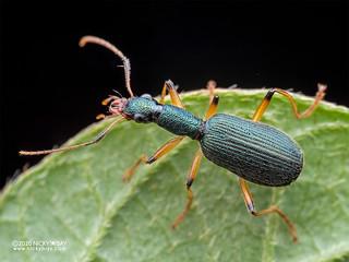 Ground beetle (Drypta sp.) - P8152576