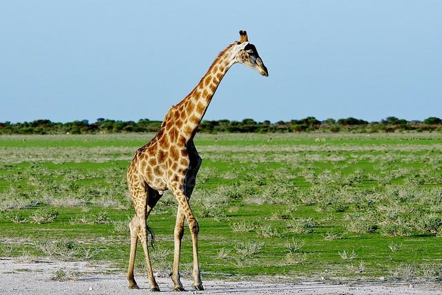 Cape Giraffe (Giraffa camelopardalis giraffa)