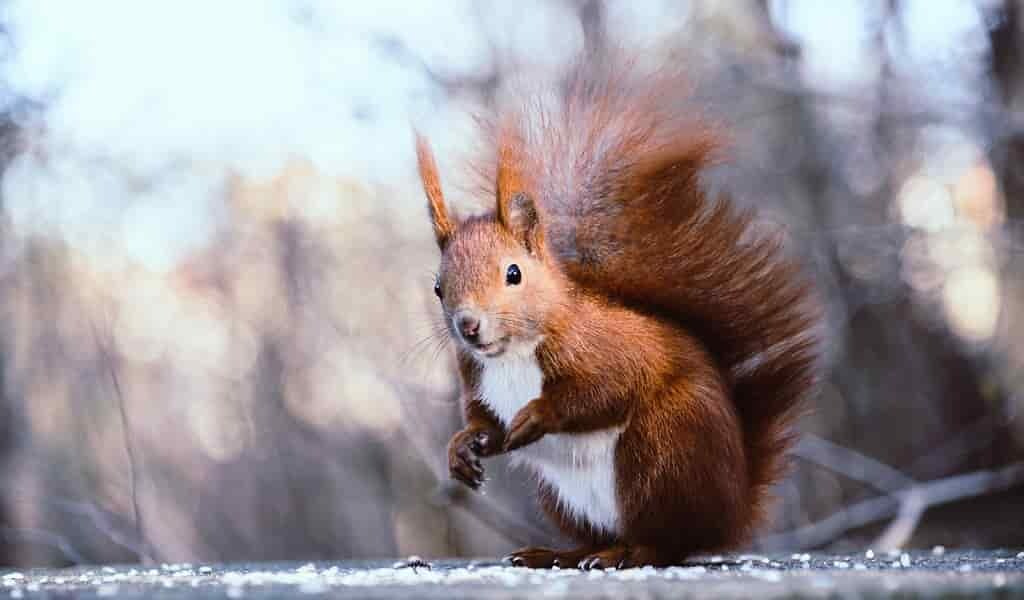 L'écureuil «carnivore» de Bornéo ne mange que des graines