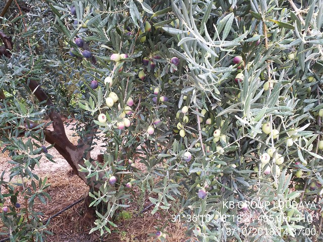 MOROCCO- Argan-based agro-sylvo-pastoral system within the area of Ait Souab-Ait and Mansour