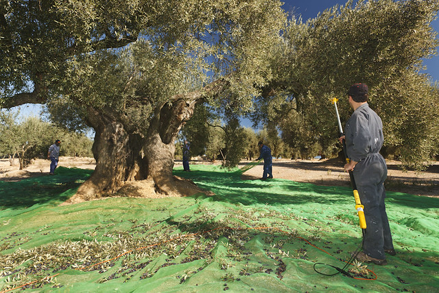 SPAIN- The Agricultural System Ancient Olive Trees Territorio Sénia