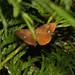 Vapourer moth (Orgyia antiqua)