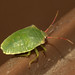 Hawthorn shieldbug nymph (Acanthosoma haemorrhoidale)