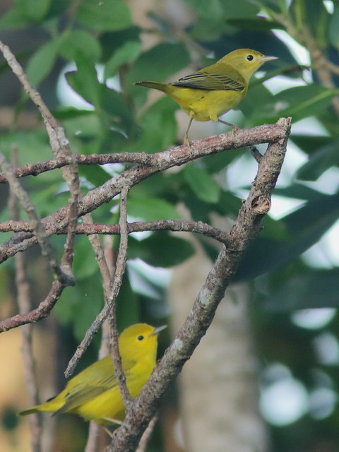Yellow Warblers 01-20200818
