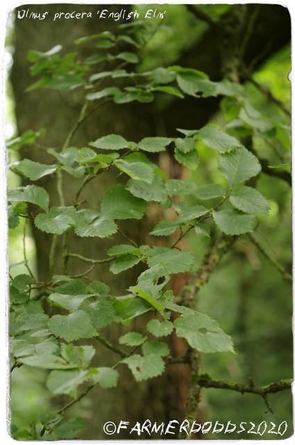 Ulmus procera 'English Elm'