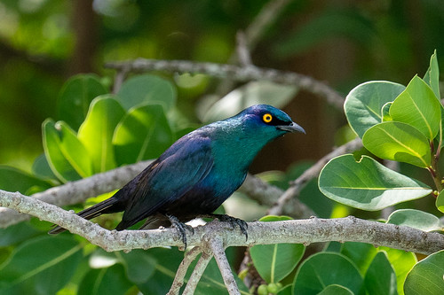 Black-bellied Starling | by Laurent Esselen