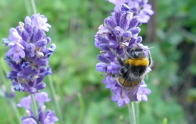 Bumblebee -  Bombus terrestris - Trzmiel ziemny
