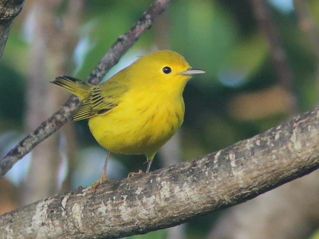 Yellow Warbler 09-20200818