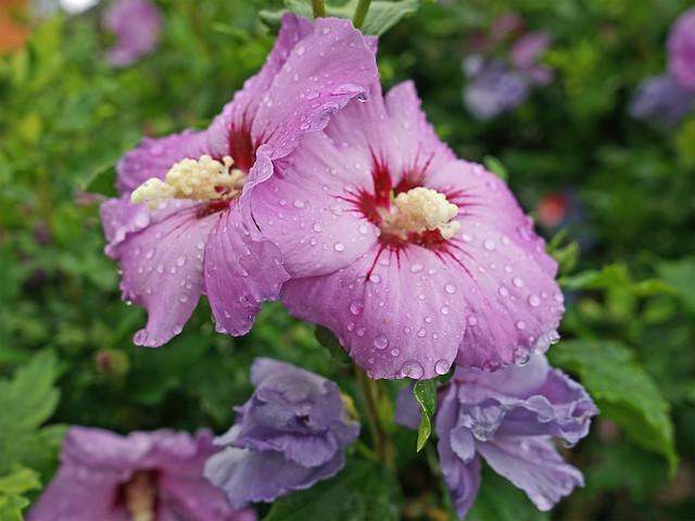 Lilafarbene Hibiskusblüten in Großaufnahme; auf den Blütenblättern glitzern Wassertropfen
