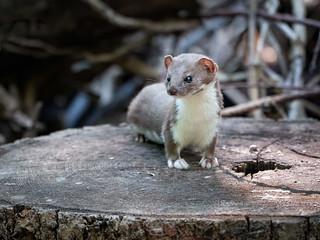 Least Weasel (in-explore-2020-08-19)