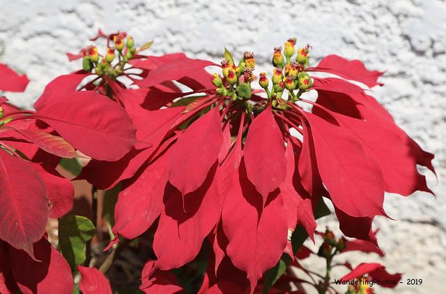 Close-up Poinsettia plant - Main Plaza Samaipata Bolivia