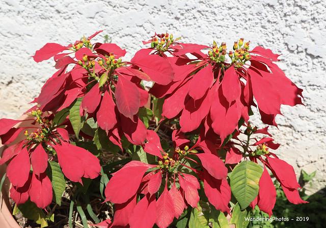 Poinsettia plant - Main Plaza Samaipata Bolivia