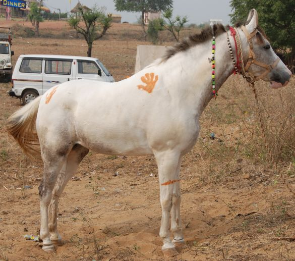 DSC_1851IndiaPushkarCamelFairPipiLangkous