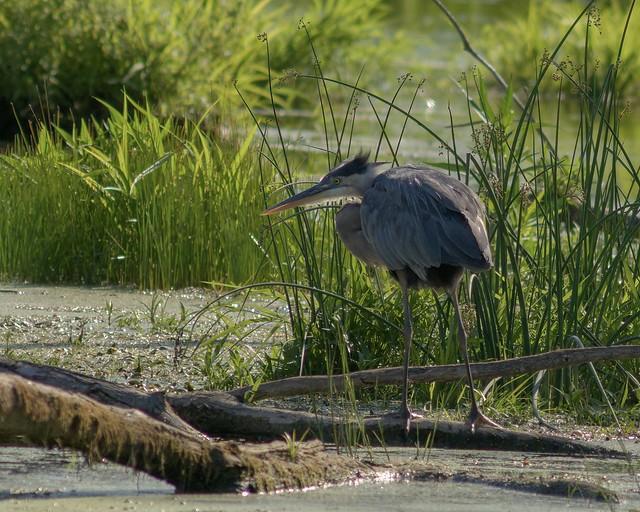 Balancing Act; Great Blue Heron hunting. Prince Edward County 🇨🇦